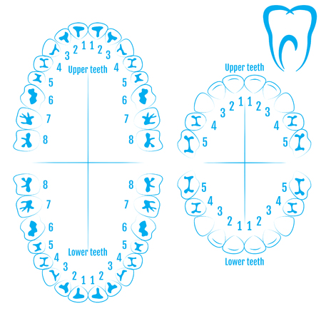 Orthodontist human tooth anatomy vector with numbering of teeth of an adult and a child. Medical dental illustration. Çizim