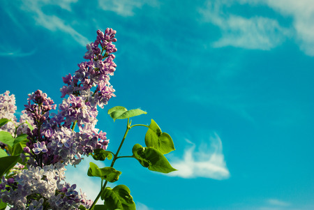 Lilac flowers background. A beautiful bunch of lilac closeup. Lilac Flowering.