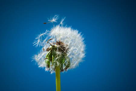 Close up of dandelion spores blowing away Stock Photo