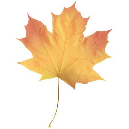 Realistic maple leaf isolated on white background