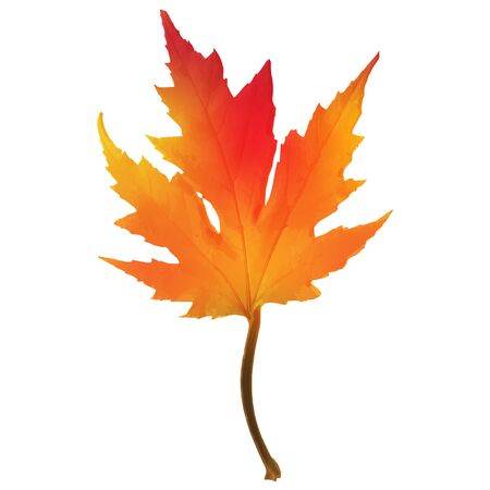 Realistic red maple leaf isolated on white background Illustration
