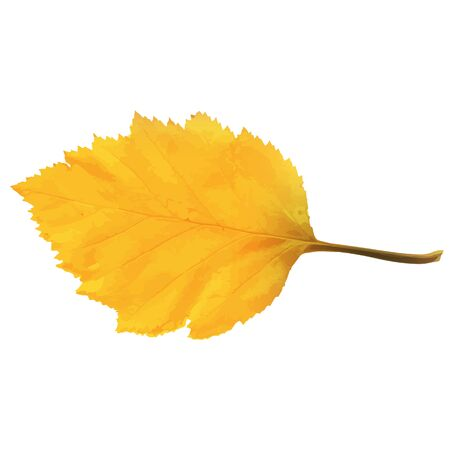 Realistic Alder Tree Leaf in Changing Fall Colors.