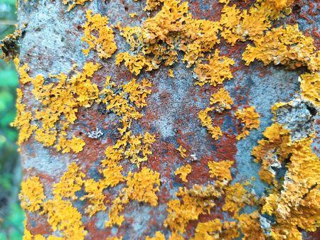 Rustic old concrete. Common yellow orange lichen on concrete.