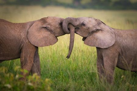 beso: Los elefantes en el amor, la de Masai Mara, Kenia