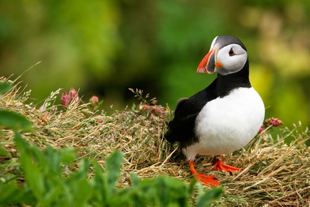 Puffin on the cliff, Iceland