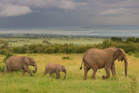 Family of elephants walking through the savanna, Masai Mara, Kenya photo