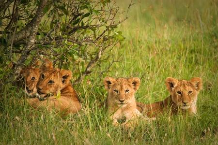 Cute cubs lions resting in the grass, Masai Mara, Kenya  photo