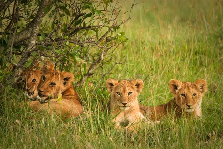 adult kenya: Cute cubs lions resting in the grass, Masai Mara, Kenya