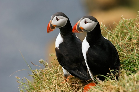 Two puffins on the grass, Iceland Stock Photo