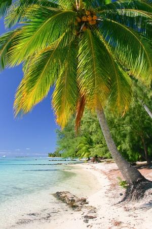 bora: Palm tree, Moorea, French Polynesia