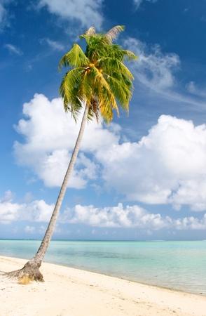 Palm and beach, Maupiti, French Polynesia  photo
