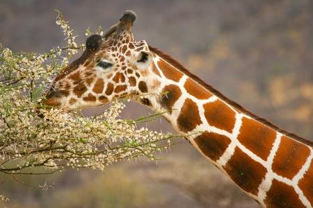 Graceful giraffe eating branch of the tree , Samburu, Kenya  Stock Photo
