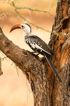 Red-billed Hornbill in the tree,, Samburu, Kenya  Stock Photo - 12813997