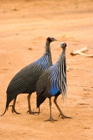 Vulturine Guineafowl, Samburu, Kenya Stock Photo - 12813970