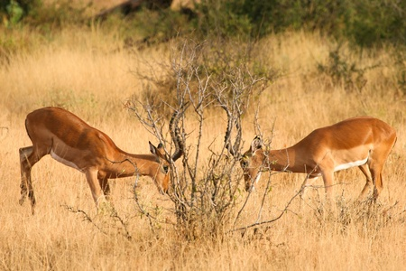Two fighting impalas in the bush of Samburu, Kenya Stock Photo - 12813926