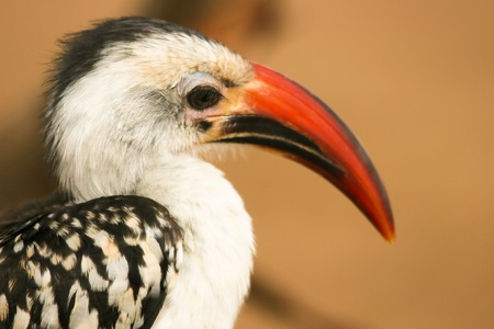 Portrait of Red-billed Hornbill  Tockus erythrorhynchus  , Samburu, Kenya