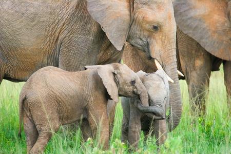 Two baby elephants playing, Masai Mara, Kenya