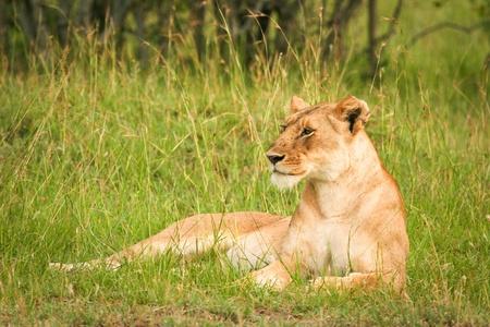 Lion in the grass, Masai Mara, Kenya Stock Photo - 13335802