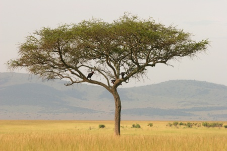 africa tree: Lonely acacia tree on the savannah, Masai Mara, Kenya