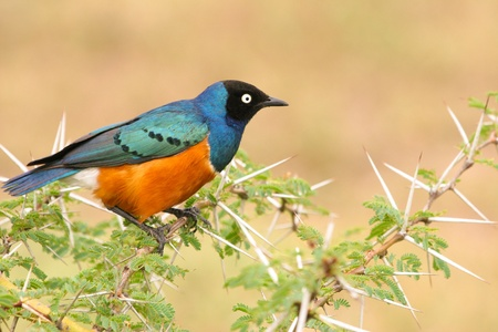 superb: Colorful Superb Starling on the wood, Samburu, Kenya