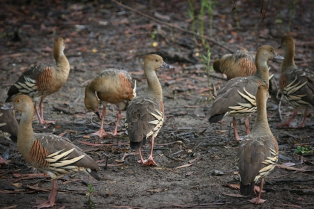 waters: Birdlife in the billabongs, Plumed whistling ducks at Yellow Waters, Kakadu National Park