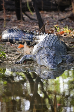 Saltwater crocodile, Yellow waters , Kakadu National Park, Northern Territory, Australia