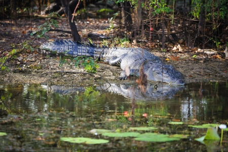 kakadu: Saltwater crocodile, Yellow waters , Kakadu National Park, Northern Territory, Australia