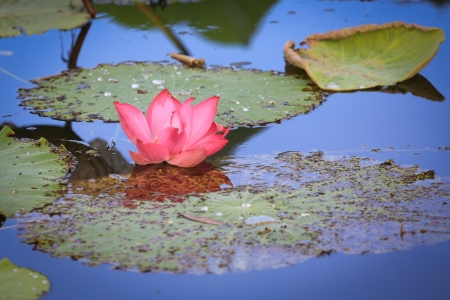 Waterlily photo