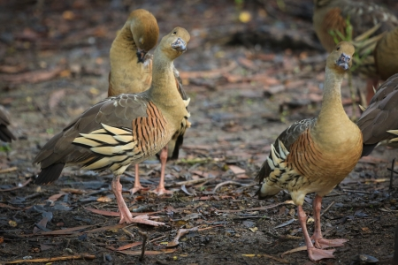birdlife: Birdlife in the billabongs, Plumed whistling ducks at Yellow Waters, Kakadu National Park