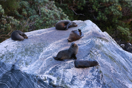 Fur seals Arctocephalus forsteri colony in Milford Sound, Fiordland National Park. Southland - New Zealand Stock Photo