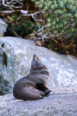 Fur seal Arctocephalus forsteri in Milford Sound, Fiordland National Park. Southland - New Zealand