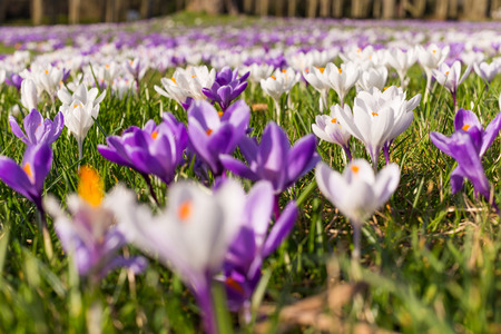 Purple saffron spring russian flowers blooming on spring meadow purple saffron spring russian flowers blooming on spring meadow stock photo 75803624 mightylinksfo