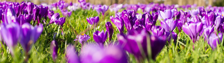 Purple crocus spring russian  flowers blooming on spring meadow