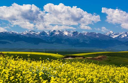 Rape flower scenery in Tianshan Mountain, Xinjiang