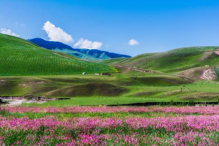 Tianshan grassland flowers scenery Imagens
