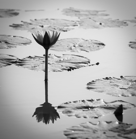 Lotus in lotus pond, black and white