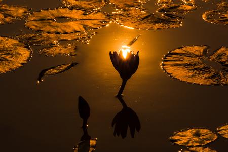 Lotus pond under sunset