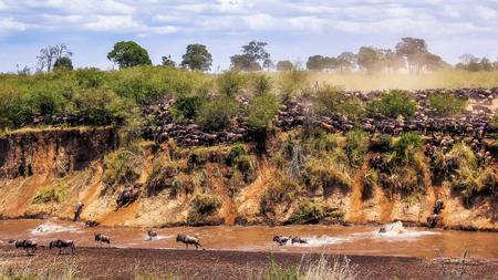 Wildebeest in Maasai Mara Prairie, Africa, Kenya Imagens