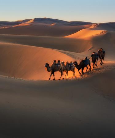 Taklimakan Desert Camel Team Sunset Scenery