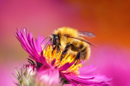 Bumble bee on aster                      photo