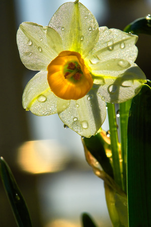 Blooming the Narcissus Stock Photo