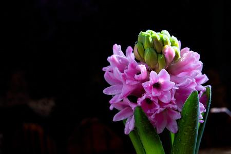 Pink hyacinth 版權商用圖片