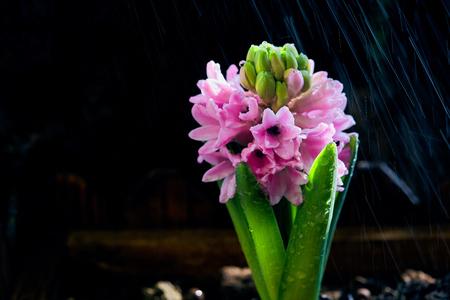 Pink hyacinth 스톡 콘텐츠