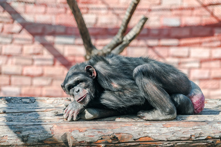 Lazy chimpanzee