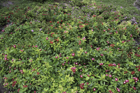 many branches: Watercress is herbaceous Grows well with many branches. Dark green leaves Rounded edges smooth oval leaves are about 2 inches long and about 1 inch wide flowers bloom at the top of the watercress.There are two colors: red and white. The growing popularity Stock Photo