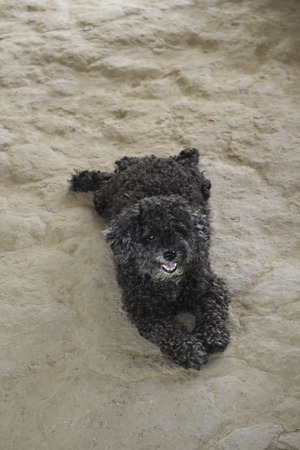 recognizes: The poodle is a group of formal dog breeds, the Standard Poodle, Miniature Poodle and Toy Poodle one registry organisation also recognizes a Medium Poodle variety, between Standard and Miniature, with many coat colors. Originally bred in Germany as a type