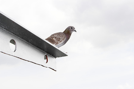 selectively: a variety of domestic pigeon (Columba livia domestica) derived from the rock pigeon, selectively bred to find its way home over extremely long distances, using magnetoreception.The wild rock pigeon has an innate homing ability, meaning that it will genera