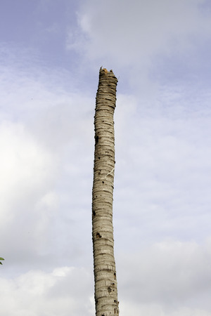struck: Image of coconut trees was struck by lightning Coconut make it disappear, but when I see a stumps and felt lonely.