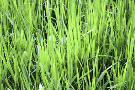 channeling: The traditional method for cultivating rice is flooding the fields while, or after, setting the young seedlings. This simple method requires sound planning and servicing of the water damming and channeling, but reduces the growth of less robust weed and p Stock Photo