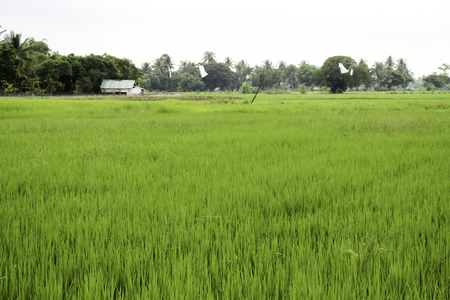 reduces: The traditional method for cultivating rice is flooding the fields while, or after, setting the young seedlings. This simple method requires sound planning and servicing of the water damming and channeling, but reduces the growth of less robust weed and p Stock Photo